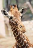 Giraffe. Lizenzfreie Stockbilder