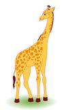 Giraffe. Royalty Free Stock Photo