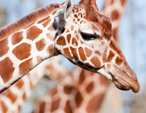 Giraffe. A closeup of a giraffe Royalty Free Stock Photo