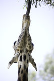 Giraffe 14 Royalty Free Stock Image