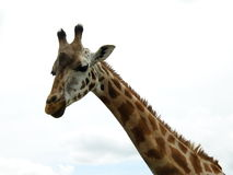 Giraffe. Character of a giraffe who towers above, curious and oblivious to any danger Royalty Free Stock Images