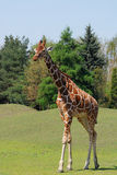 Giraffe. Walking Giraffe in Wroclaw Zoo, Poland Royalty Free Stock Photography