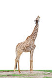 Giraffe. A isolated giraffe with white background, raises its head and opens its mouth Stock Photos
