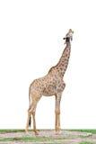 giraffe Стоковые Фото