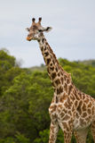 Giraffe. Eating in the Masai Mara Kenya Stock Images