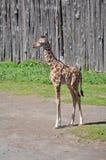 giraffe стоковая фотография