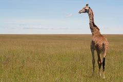 Giraffe Image libre de droits