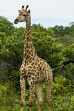 Giraffe moving through the dense bushes. royalty free stock images