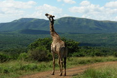 Giraffe. A South African giraffe standing on a road in a game park Stock Image