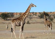 Giraffe Stockbild