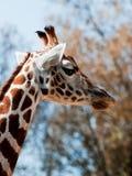 Giraffe Imagens de Stock Royalty Free