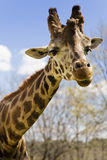 Giraffe. Wild giraffe walking in the jungle Stock Images