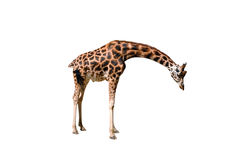 Giraffe on white background. Brown Giraffe the african mammal Royalty Free Stock Photo