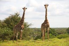 Giraffe Stock Photo
