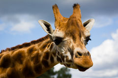 Giraffe. Closeup photograph of a giraffe head Royalty Free Stock Image