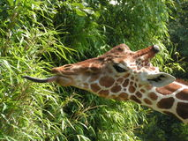 Giraffe Photo stock
