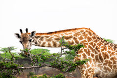 Giraffe. Eating for a tree in Africa Royalty Free Stock Photo