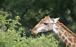 Giraffe. Eating at the top - giraffe feeding in wild Royalty Free Stock Photography