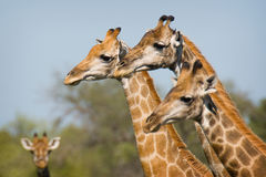 Giraffe. A group of Giraffe at the Kruger National Park in Africa Royalty Free Stock Image
