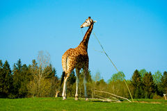 Giraffe. Tall giraffe on the savannah Stock Images