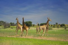 Giraffe. S running in a circle in Africa Royalty Free Stock Image