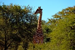 Giraffe #2 Royalty Free Stock Image