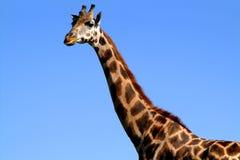 Giraffe 2. Giraffe with blue sky Royalty Free Stock Photography