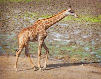 Giraffe Royalty Free Stock Photos