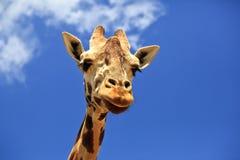 Free Giraffe Stock Images - 20383924