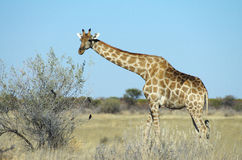 Giraffe. A giraffe in the wild in Namibia, Africa Royalty Free Stock Images