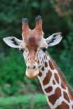 Giraffe Royalty Free Stock Photo