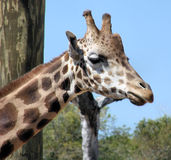 Giraffe. This is a giraffe from the lowry park zoo Royalty Free Stock Image