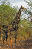 The giraffe. A giraffe feeding with the leaves of an acacia tree. Photo taken in Senegal Royalty Free Stock Image