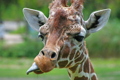 A giraffe. Is sticking out its tongue Royalty Free Stock Photography