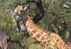 Giraffe. A giraffe peaks over low branches in Botswana Stock Photography