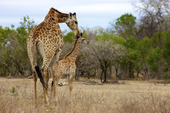 Giraffe. A Giraffe and her young, Kruger National Park Stock Photo