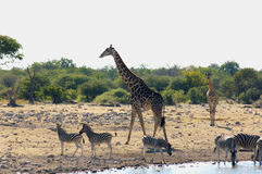 Giraffe. Between trees in wildlife Royalty Free Stock Photography