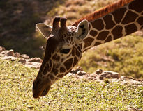 Giraffe. Photos stock