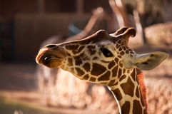 Giraffe . Closeup of a Giraffe head staring at camera Stock Photos