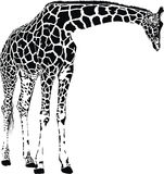 Giraffe. Vector graphics isolated on white background Royalty Free Stock Images