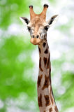 Giraffe. Portrait of a giraffe on green background Royalty Free Stock Photo