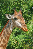 Giraffe. A big tall animals mammal Stock Photos