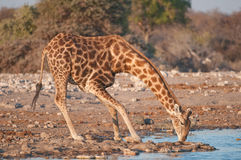 Giraffe. Tall herbivore; long legs and neck; feeds in tree canopies; savannas; two short horns; coloration patch work of dark patches and lattice-work pattern of Royalty Free Stock Photography