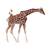 Giraffe. Vector illustration of African giraffe Stock Photo