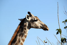Giraffe. Portrait, Khwai River, Botswana Royalty Free Stock Photo
