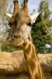 Giraffe Imagem de Stock Royalty Free