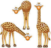 Giraffe. Funny giraffe in different positions Stock Photography