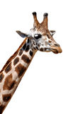 Giraffe. Isolated on white background Stock Photography