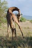 Giraffe. Walking in savannah in kenya Royalty Free Stock Photography