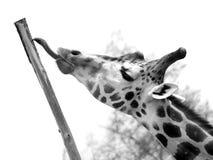Giraffe Imagens de Stock